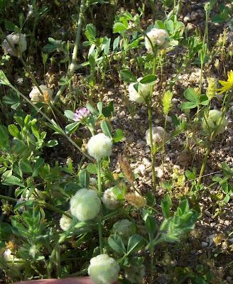 Trifolium tomentosum, Filziger Klee, trevo-tomentoso, Trifoglio tomentoso, trèfle cotonneux, trébol de algodón, woolly clover, woolly-head clover