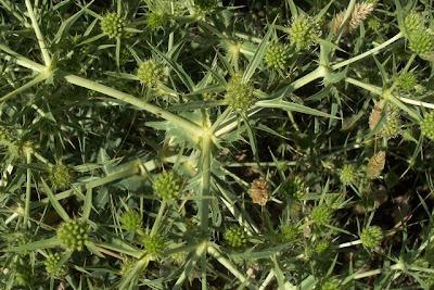 Eryngium campestre, Bocca di ciuco, Calcatreppola campestre, eryngo, Feld-Mannstreu, field eryngo, Sea Holly, sea-holly
