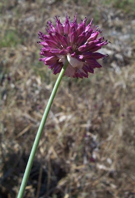 Allium sphaerocephalon, Aglio delle bisce, ail à tête ronde, ball-headed onion, Kugellauch, Round Headed Leek, round-headed garlic, round-headed leek