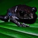 Java Spadefoot Toad