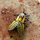 Festive moth