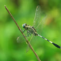 Slender Skimmer ( a.k.a. Green Marsh Hawk )