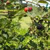 Black berrys