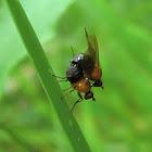 Sapromyza sciomyzina