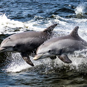 dolphins catching a wave by Diane Davis - Animals Other Mammals (  )