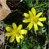Ranunculus Ficaria??