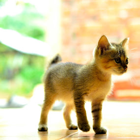 Little cat by Nurul Najwa - Animals - Cats Kittens