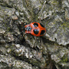 Handsome fungus beetle