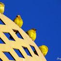 Canário-da-terra-verdadeiro (Saffron Finch)
