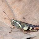 Rufous-legged Grasshopper