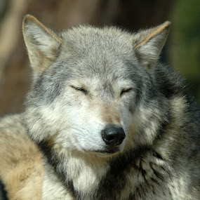 Wolf by Michael Smith - Animals Other