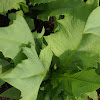Indian Lettuce