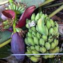 Wild Banana