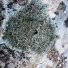 Liquen. Lichen