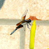 Widow Skimmer, male
