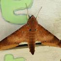 Ambulyx hawk moth