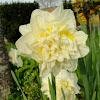 """""""Ice King"""" Daffodil"""