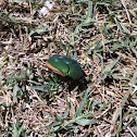 Fig-eater Beetle