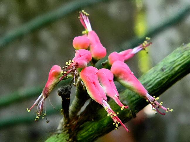 Devil's backbone, slipper flower