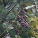 Concord grapes, wild grapes