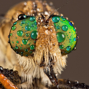 Morning Dews by Vincent Sinaga - Animals Insects & Spiders ( extreme macro, dews, insect, animal, robberfly )