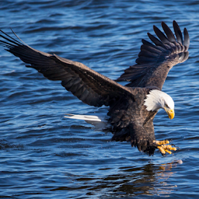 Lunch is Served by Jerry Alt - Animals Birds ( eagle, fish, bald, talon, mississippi )
