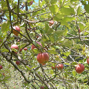 Red Apples by Patrick Jones - Nature Up Close Gardens & Produce ( red, fall, apples )