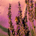 French lavender with bee