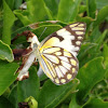 Brown-veined White or Pioneer White