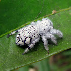 Unidentified Jumping Spider