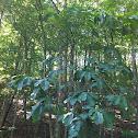 Common Pawpaw Tree