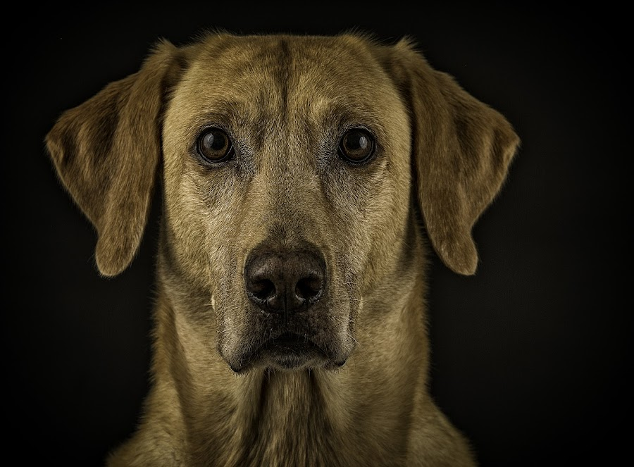 Yellow Labrador Retriever by Troy Wheatley - Animals - Dogs Portraits ( yellow, dog, lab )