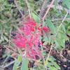 Callistemon viminalis (Limpiatubos llorón. Weeping tubebrush)