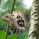 Pale Owl Butterfly