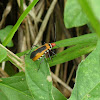 Bentsen Red Bug