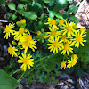 Butterweed, Great Plains ragwort