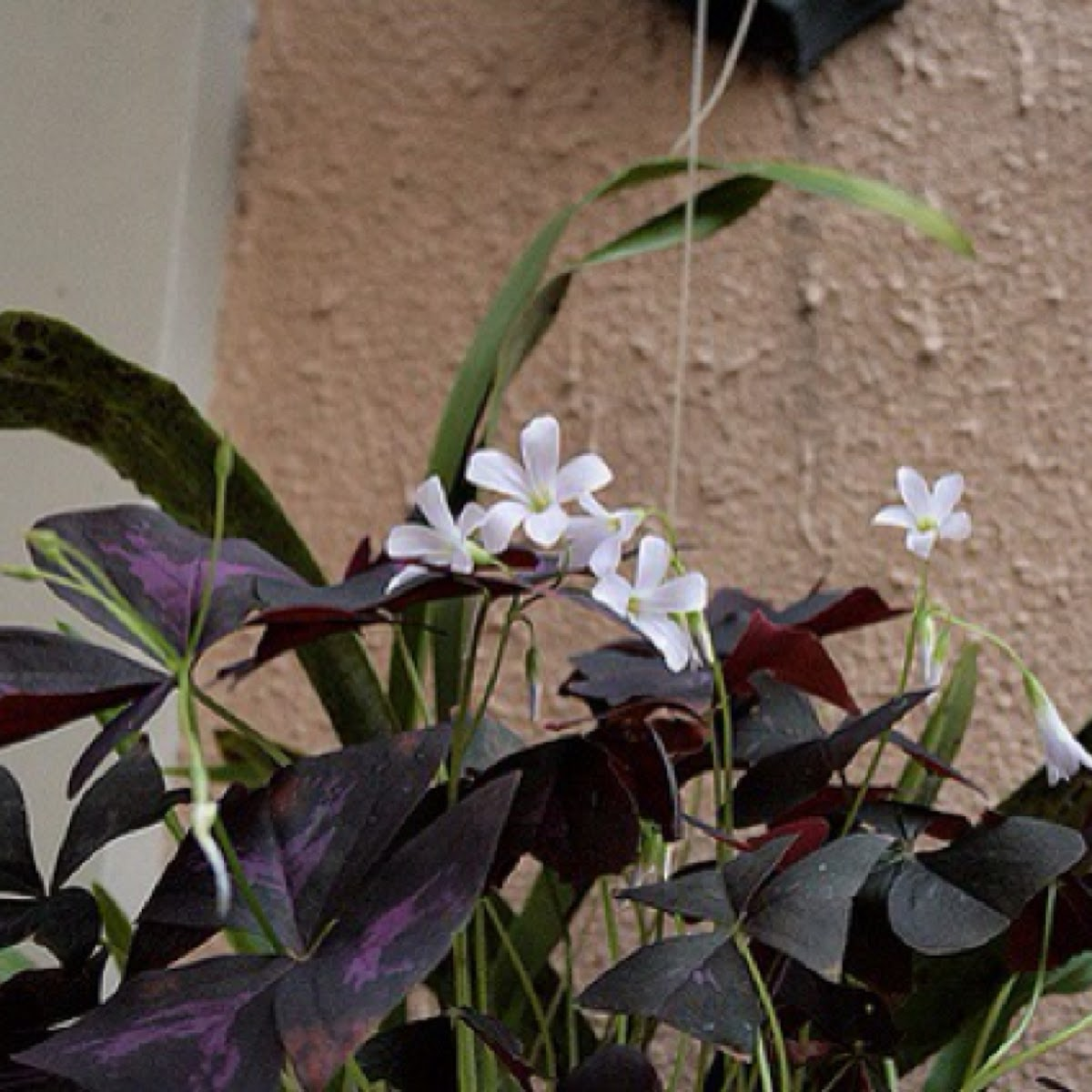 Oxalis regnelli rubra