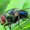 Green Bottle Fly