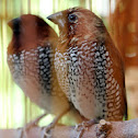 Scaly-breasted Munia (Nutmeg Mannikin/Spice Finch)