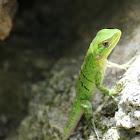 Mexican Spiny-tailed Iguana (juvenile)