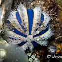 Blue Tuxedo Pincushion Urchin, Globe Urchin