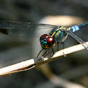 Dark-Tipped Forest Skimmer