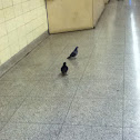 Subway pigeons!