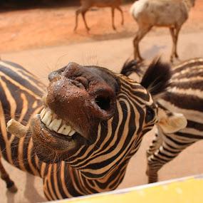 Zebra smiles by Kimmarie Martinez - Animals Horses ( horse teeth, horse, safari, zebra, smile, , Africa, Safari )