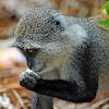 Blue monkey/Zanzibar Sykes' monkey