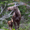 Moose Cow & Moose Calf