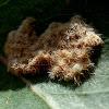 Cup Moth Egg Mass