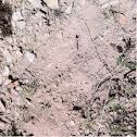 Bobwhite quail dusting area