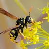 European paper wasp, avispa cartonera