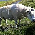 Sheep - ram (male)